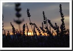 avender at Sunset