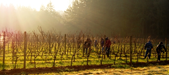 Pruning_anne_amie_estate_vineyard_p